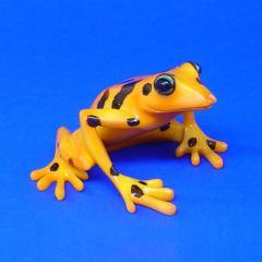Stummelfußfrosch Atelopus varius